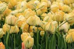 Beautiful image of soft yellow color in bed of tulips Royalty Free Stock Photography