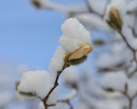 Beautiful image of spring and winter. A snow storm that blanketed the Northeastern United States on the first day of Spring covers a star magnolia tree ( Royalty Free Stock Image