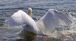 Beautiful  image of the swan showing his powerful wings Stock Photos