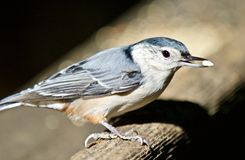 Beautiful  image with a white-breasted nuthatch bird Stock Image