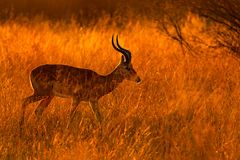 Beautiful impala in the grass with evening sun. Animal in the nature habitat. Sunset in Africa wildlife. Wild nature stock photography