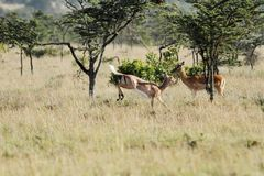 A beautiful Impala in the grassland Stock Photo