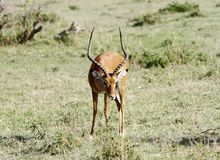 A beautiful Impala searching food Stock Photos