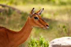 Beautiful impala with tan coating coloration Stock Image