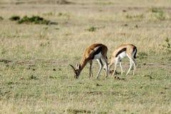 Beautiful Impalas grazing Royalty Free Stock Image