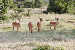 Beautiful Impalas grazing in the savannah grassland of Ol Pejeta Conservancy, Kenya Royalty Free Stock Images