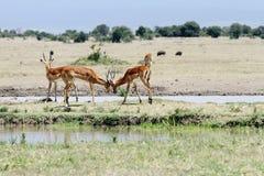 Beautiful Impalas Stock Photography