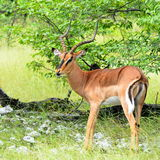 Beautiful impalas male Stock Photos