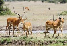Beautiful Impalas near a water hole Royalty Free Stock Photo