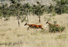 Beautiful Impalas running in the grassland Stock Image