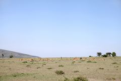 Beautiful Impalas and wildebeest grazing in the Savannah grassland Kenya Royalty Free Stock Photos