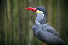 Beautiful Inca Tern Stock Images