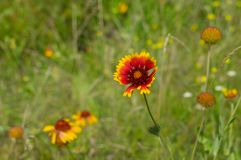 Beautiful Indian blanket flower Stock Images