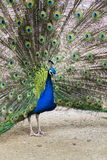 Beautiful indian blue peafowl male showing bright colorful feathers Stock Photography