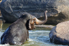 Beautiful Indian elephant is standing in the river. Beautiful Indian sacred elephant in the morning bought in the river in Hampi Hampi Stock Image