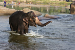 Beautiful Indian elephant is standing in the river. Beautiful Indian sacred elephant in the morning bought in the river in Hampi Hampi Stock Photos