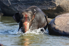 Beautiful Indian elephant is standing in the river. Beautiful Indian sacred elephant in the morning bought in the river in Hampi Hampi Royalty Free Stock Image