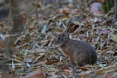 Beautiful indian hare in the nature habitat in India Royalty Free Stock Photo