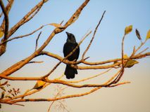 Beautiful Indian jungle crow or Corvus culminatus Royalty Free Stock Image