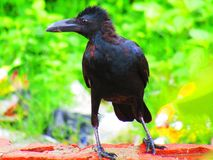 Beautiful Indian jungle crow or Corvus culminatus Stock Image