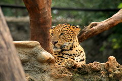 Beautiful Indian Leopard Royalty Free Stock Photography