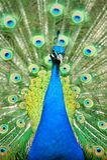 Beautiful indian peacock royalty free stock image
