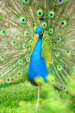 Beautiful indian peacock Royalty Free Stock Photo