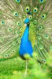 Beautiful indian peacock royalty free stock photo
