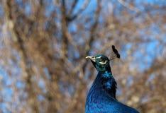 Beautiful Indian peacock Stock Photo