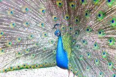 Beautiful indian peacock with peacock feathers in the peacock`s tail. Close-up stock photo