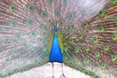Beautiful indian peacock with peacock feathers in the peacock`s tail. Close-up stock image