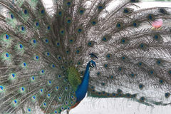 Beautiful Indian peacock spread tail-feathers Stock Photo