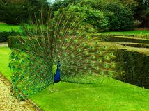 Peacock in full display stock images