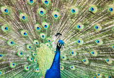 Beautiful Indian peafowl - Pavo cristatus - male (peacock) displ Royalty Free Stock Images