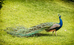 Beautiful Indian peafowl - Pavo cristatus walking in the green m Royalty Free Stock Photography