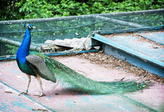 Beautiful Indian peafowl - Pavo cristatus walking on the roof Stock Images