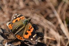 Beautiful  indian red admiral  vanessa indica butterfly. stock photo