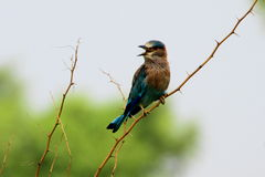 A beautiful Indian Roller (Coracias benghalensis) bird singing Royalty Free Stock Image