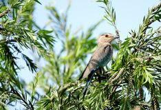 Beautiful Indian roller inside green leaves Royalty Free Stock Images