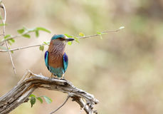 A beautiful Indian roller perched on a branch in Jhirna Forest Royalty Free Stock Photo