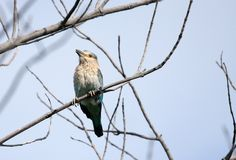 A beautiful Indian Roller perched on branch Royalty Free Stock Photography