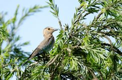 Beautiful Indian roller perched on tree Stock Photos