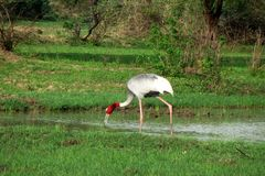Indian sarus crane bird royalty free stock photography