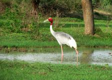 Indian sarus crane bird stock photography