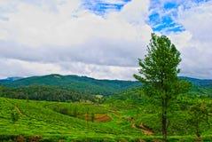 Beautiful Indian Tea Estates. Pristine Green Meadows Like Tea Plantations in India Stock Images