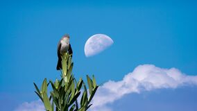 Beautiful Indonesian Wild Bird With Blue Sky and Day Moon