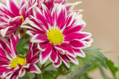 Beautiful indoor chrysanthemum Royalty Free Stock Images