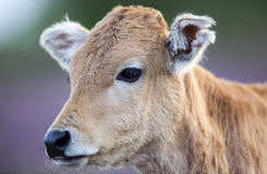 Beautiful Innocent Calf Royalty Free Stock Image