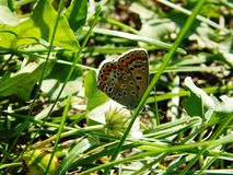 Beautiful insect butterfly sitting on the stems of green grass. Nature summer wild life beautiful insect butterfly sitting on the stems of green grass stock photo