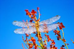 A beautiful insect of a dragonfly Sympetrum Vulgatum Against a background of a blue sky background. Toning royalty free stock photos